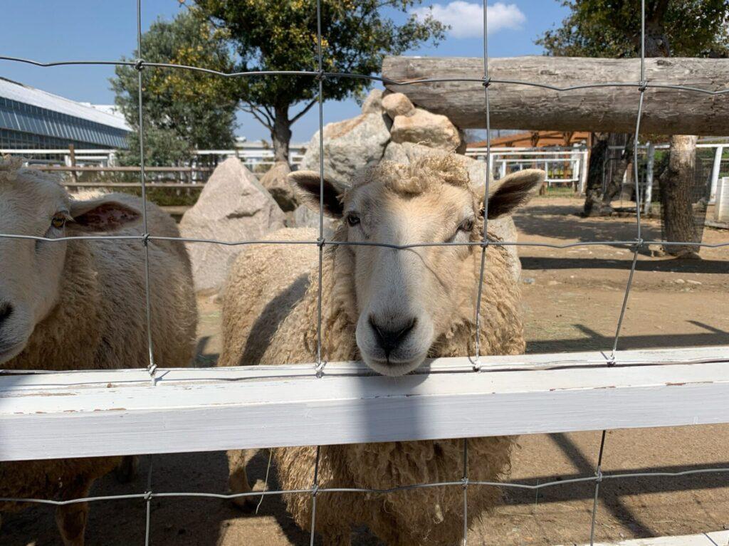 神戸どうぶつ王国羊